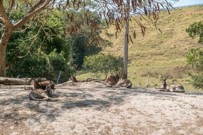 Tropical Fruit World kangouroux