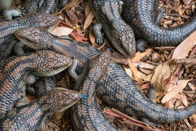 Scinque à langue bleue Phillip Island
