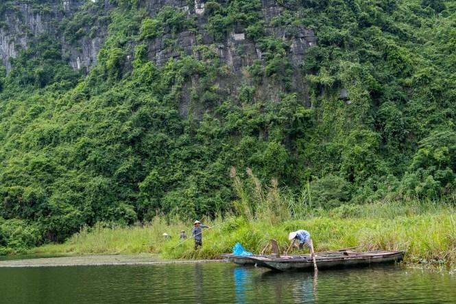 Récolte de riz trang An baie d'halong terrestre tam coc