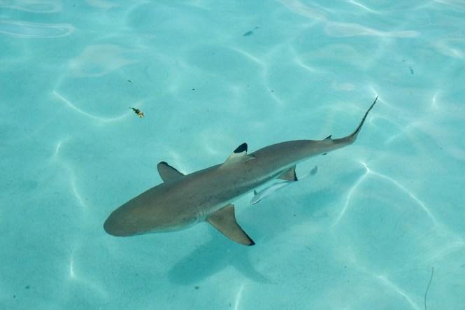 requin-moorea