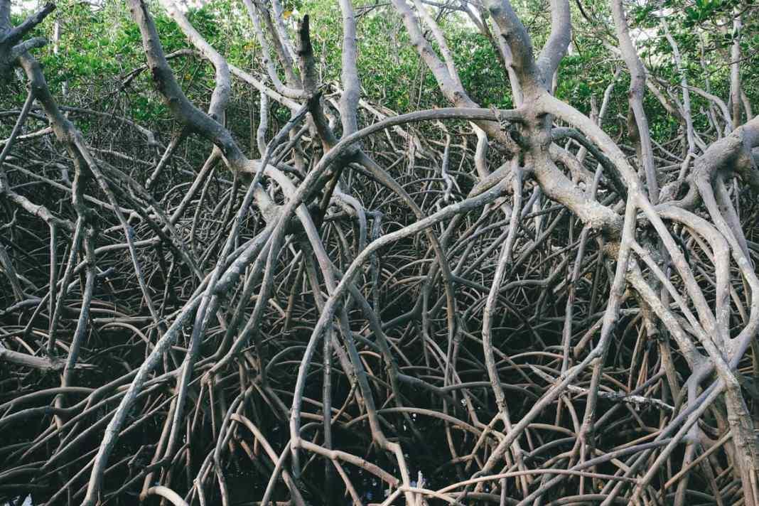 sentier-de-la-mangrove-de-Ouémo-racines-palétuviers