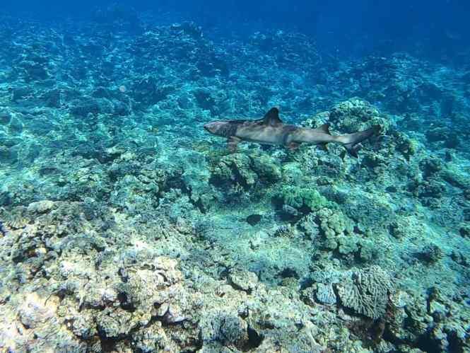 aquanature-passe-de-dumbea-requin