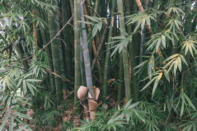 Moindou-forêt-de-bambous