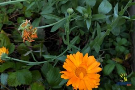 Calendula: Schmückt als eßbare Blüte den Salat und hat wichtige hautpflegende Inhaltsstoffe