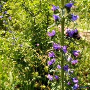 """Natternkopf, eine wichtige Bienenweide, ist bei uns nicht """"Unkraut"""", sondern bewußt gehegte Blütenpflanze."""