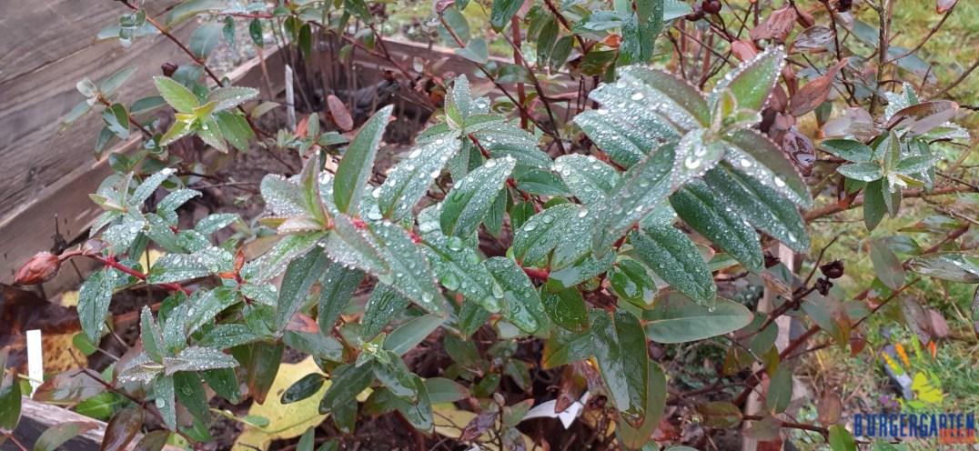 Auch ohne Blütenkleid schön (Hypericum)