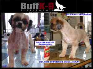 shih tzu show dog buffk9