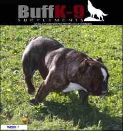 buffk9 shorty bull muscled up