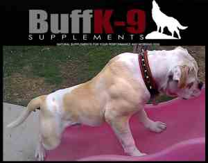 american bulldog results buffk9