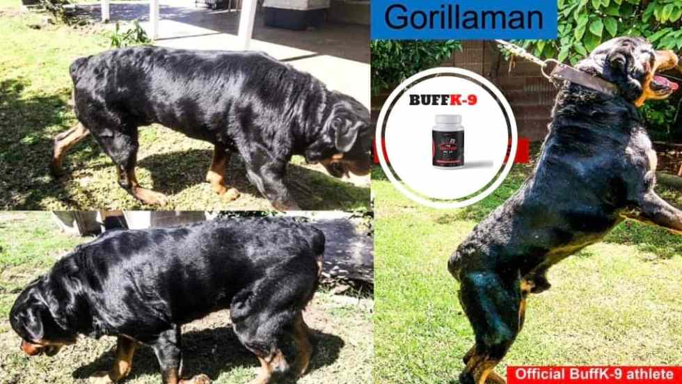worlds most muscular rottweiler buffk9 dog supplements