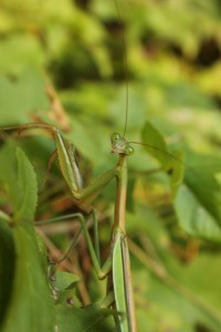 I moved the mantis to a more photogenic background.  S/he patiently posed for many shots.