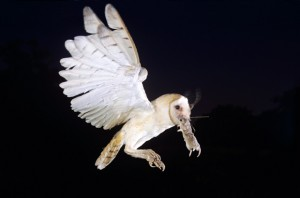 From: http://animal-kid.com/barn-owl-catching-prey.html