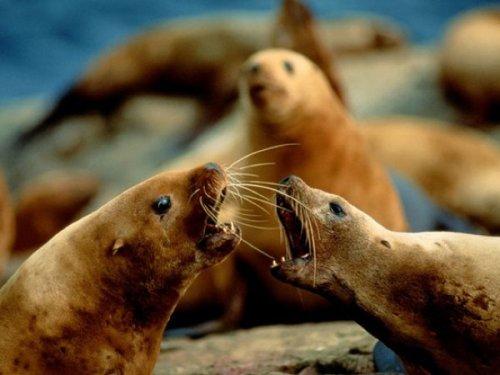 Секс морских котиков на берегу