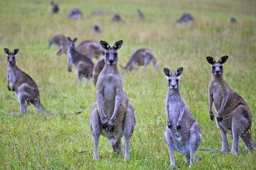 kengūros varpos)