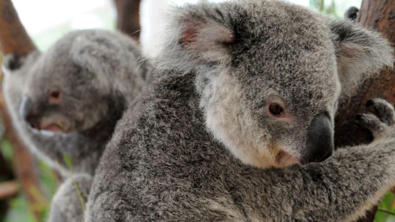 Australie: 30% de la population des koalas a disparu au cours de ces trois dernières années