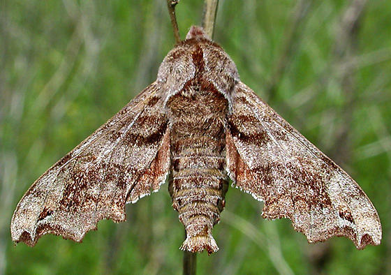 Lettered Sphinx - Deidamia inscriptum