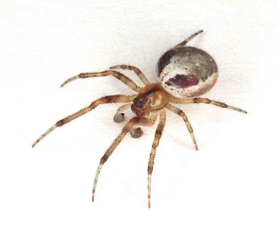 Zygiella atrica, a modern descendant of mesozoic spiders