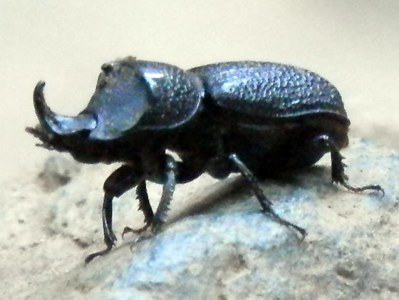 Small black beetle with a single nose horn - Sinodendron rugosum