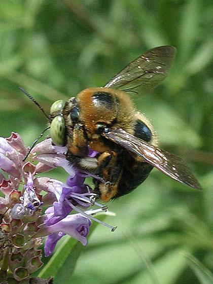 Green Eyed Bumblebee Xylocopa micans BugGuideNet