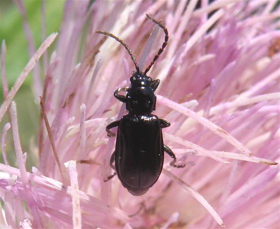Leaf Beetle - Diabrotica cristata