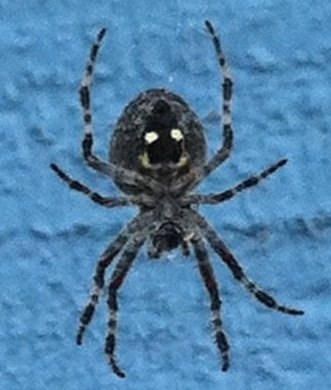 happy face spider  # 56