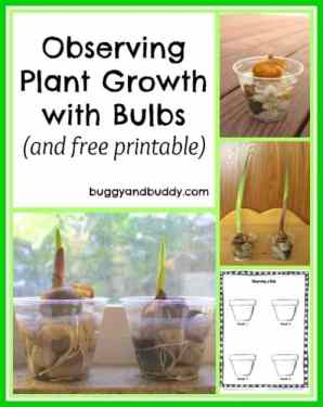 plant a bulb and observe it's growth