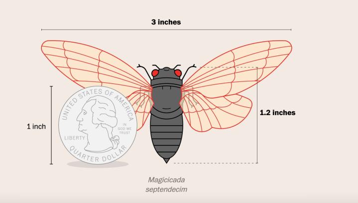 The Washington Post - Cicada Size