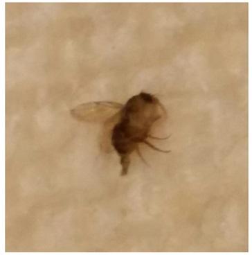 Tiny Brown Flying Bugs In Bedroom Psoriasisguru Com