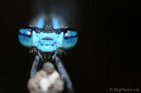 Damselfly with Blue Eyes