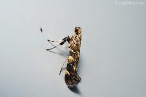 Caloptilia serotinella, adult moth