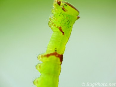 Saddled Prominent Caterpillar