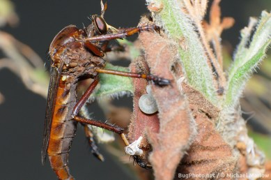 large robber fly hanging from dead leaf with sawfly larva
