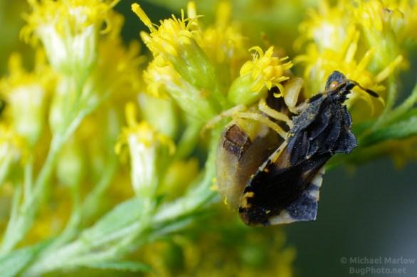 mating ambush bugs