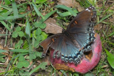 tattered red spotted purple butterfly