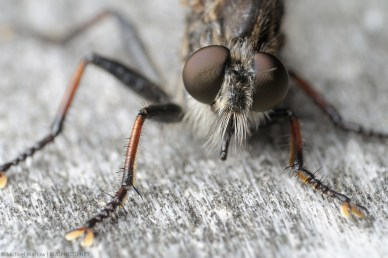 Robber Fly (Efferia sp.) Portrait