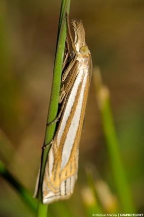 Crambus snout moth