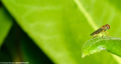 syrphid fly on leaf positioned for flight