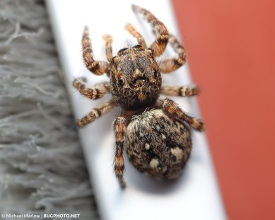 dorsal view of sitticus pubescebs jumping spider on grey white and red background