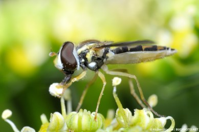 syrphid fly feed on parsley anther