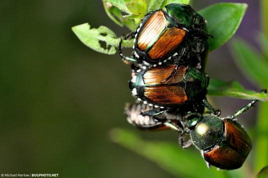 cluster of japanese beetles