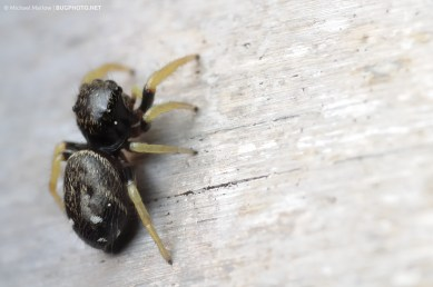 black jumping spider with white abdominal stripes and yellow legs
