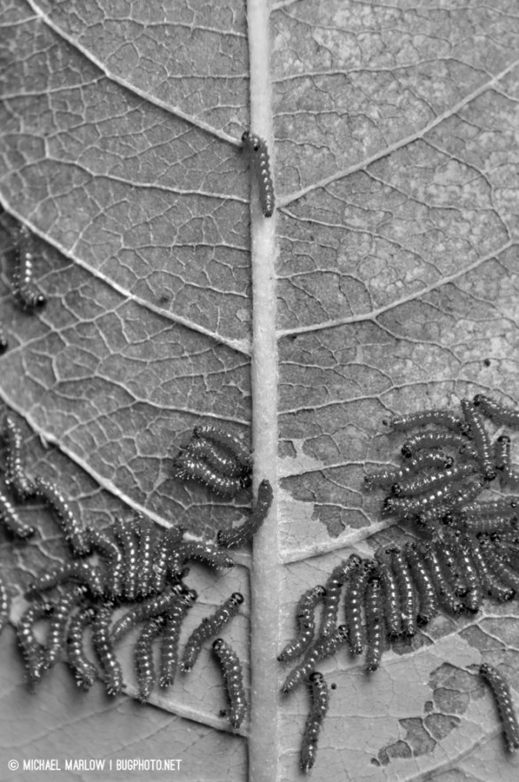 caterpillar aggregation eating a leaf; black and white