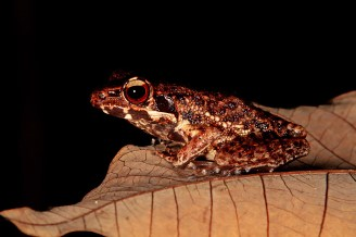 (Masked Rough-sided Frog)