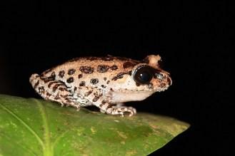 (Black-eyed LItter Frog)