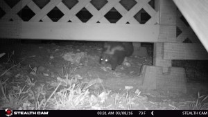 Striped skunk (Mephitis mephitis) foraging under a residential home's deck in a rural part of Hutto, Texas.