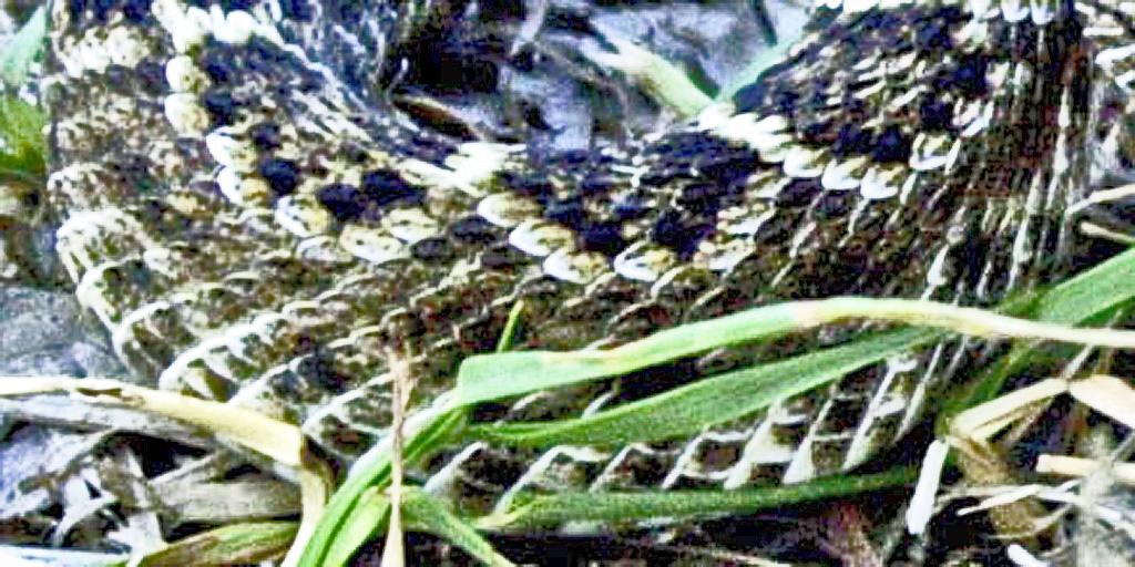 western diamondbacked rattlesnake 2