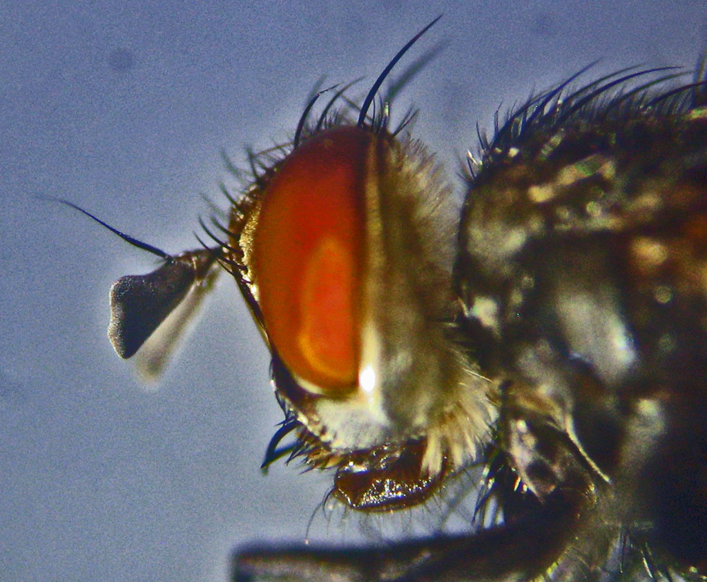 Tachinid Fly lateral head showing mouthparts
