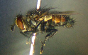 Tachinid Fly lateral