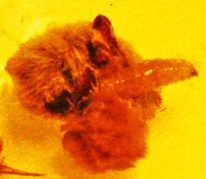 Maggot emerging from Puss Caterpillar cada