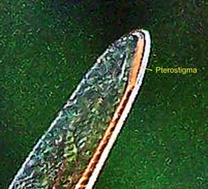 Dragonfly perostigma, Linda C Southwest Austin TX 07162005